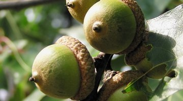Acorns are a dietary favourite for squirrels and deer.
