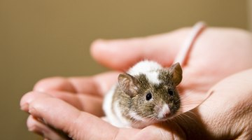 Brown and white pet mouse