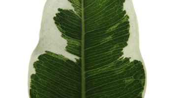 Variegated Ficus benjamina is susceptible to sudden leaf drop in cold drafts.