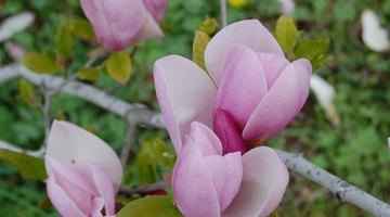 Saucer magolias produce stunning purple flowers.