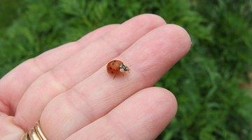 Ladybirds are beneficial in the garden.