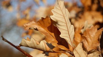 Some deciduous oak trees' leaves persist even into winter and early spring.