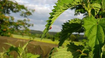 Ladybirds will eat your aphids for you.