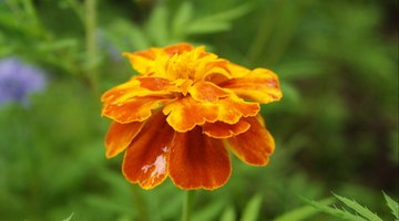 Marigolds are attractive, easy to grow annual flowers popular with many gardeners.