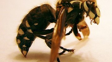 The honey bee's stinger is a protective adaptation.