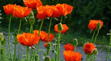 Iceland poppies add vivid colour to gardens.