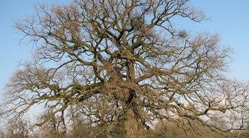 Deciduous oak trees are barren in winter.