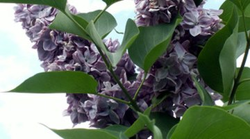 Lilac bushes are particularly susceptible to honey fungus.