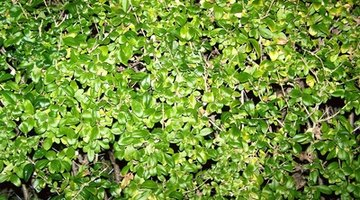 Privet bushes stay compact and make excellent border plants.