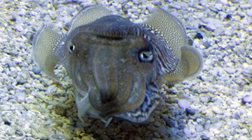 Cuttle fish are squid like animals.