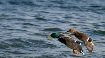 Ducks have been used as a food source for centuries.