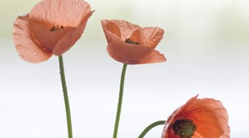 Poppies have four to six petals.