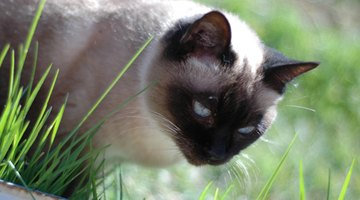 Siamese cats can suffer hormonal imbalances.