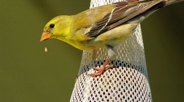 The female goldfinch is a duller yellow than the male.