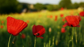 The native corn poppy was used for cold relief in medieval Europe.
