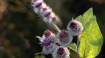 Studies say milk thistle helps to heal the liver.