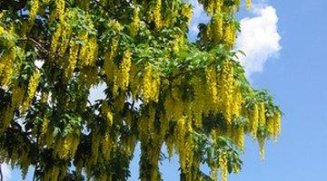 Laburnum is a favourite tree among gardeners.