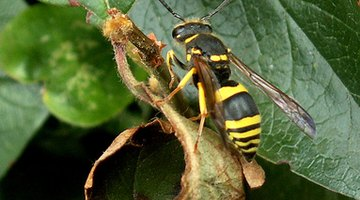 A wasp's sting is more painful than that of a bee.