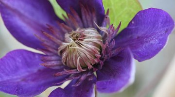 Though it has a similar corona, the clematis flower is much simpler than that of the passion flower.