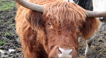 Highland cattle thrived in rough and rocky terrain.