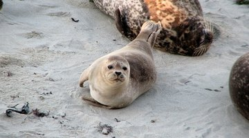 The skins of baby seals are sometimes used for clothing.