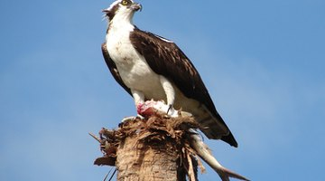 Eating fish containing DDT affected the osprey's fertility.