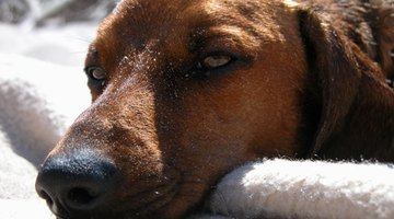 A dog with colic can manifest in a variety of symptoms.