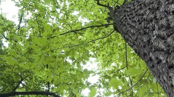 Average heights and sizes of oak trees depend upon the specific species.