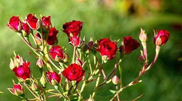 Miniature roses are suitable as both outdoor landscape plants and potted house plants.