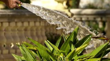 A strong blast of water will remove spittlebugs from your plants.