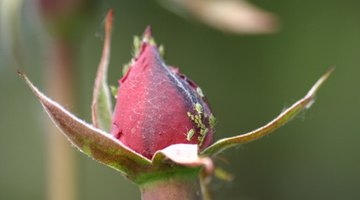 Aphids on a Tender Rose Bud.