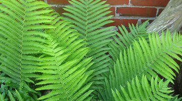 Many types of ferns grow without benefit of abundant sunlight.