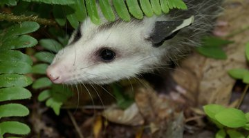 Opossums eat a wide variety of foods, including carrion.