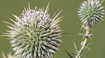 Relief From the Sting of a Thistle Plant