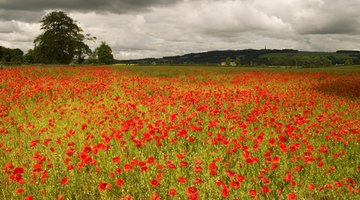 Ploughing fields brings poppy seeds to the surface.