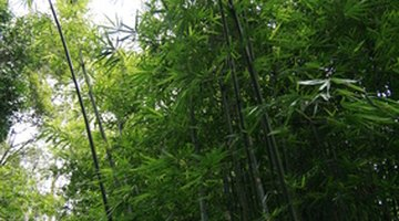 Bamboo is an Asiatic grass.