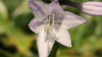 Hosta flowers are quite beautiful.