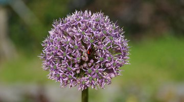 Alliums form rounded flowerheads on tall stems.