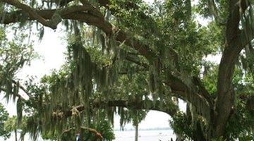 Live oak foliage lacks lobes and is evergreen.
