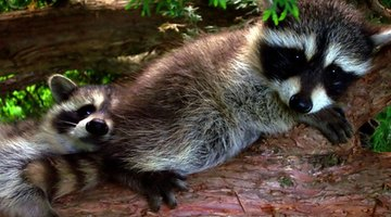 Raccoons often nest in tree cavities in woodlands.