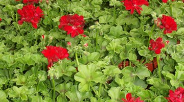 Healthy pelargoniums as a bedding plant