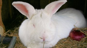 Butchers and buyers typically prefer white rabbits.