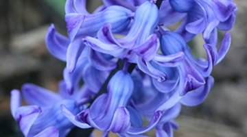 The characteristic scent of hyacinth comes from an aromatic compound called hyacinthin.