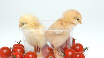 Sometimes baby chickens need an incubator.
