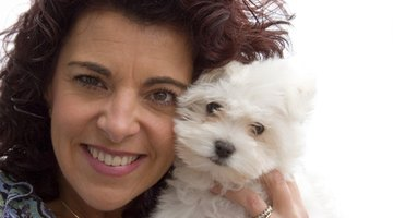A Bichon Russell hybrid will be a loving companion.