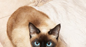 Unhappy Siamese cats can pull out their fur.