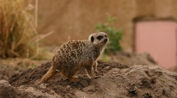 Sculpt your Meerkat from air-dry clay for your diorama.