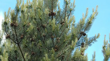 Evergreen trees have cones that hold seeds.