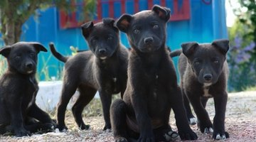 Extra fibre may help puppies when coming off their mother's milk.