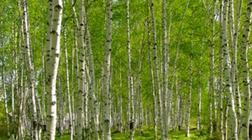 Birches are pioneer trees in the wild.